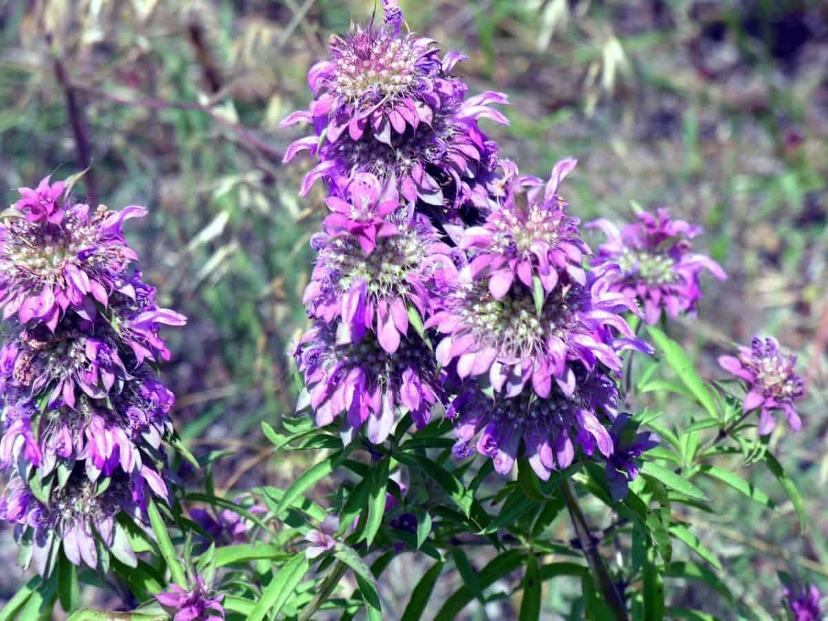 natural mosquito repellent plant horsemint