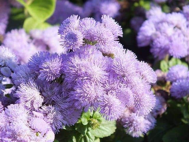 best natural mosquito repellent recipe plant ageratum