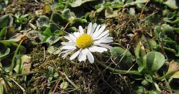 Roman Chamomile - essential oils for anxiety - Natural Remedy Anxiety Relief - Essential Oils Anxiety