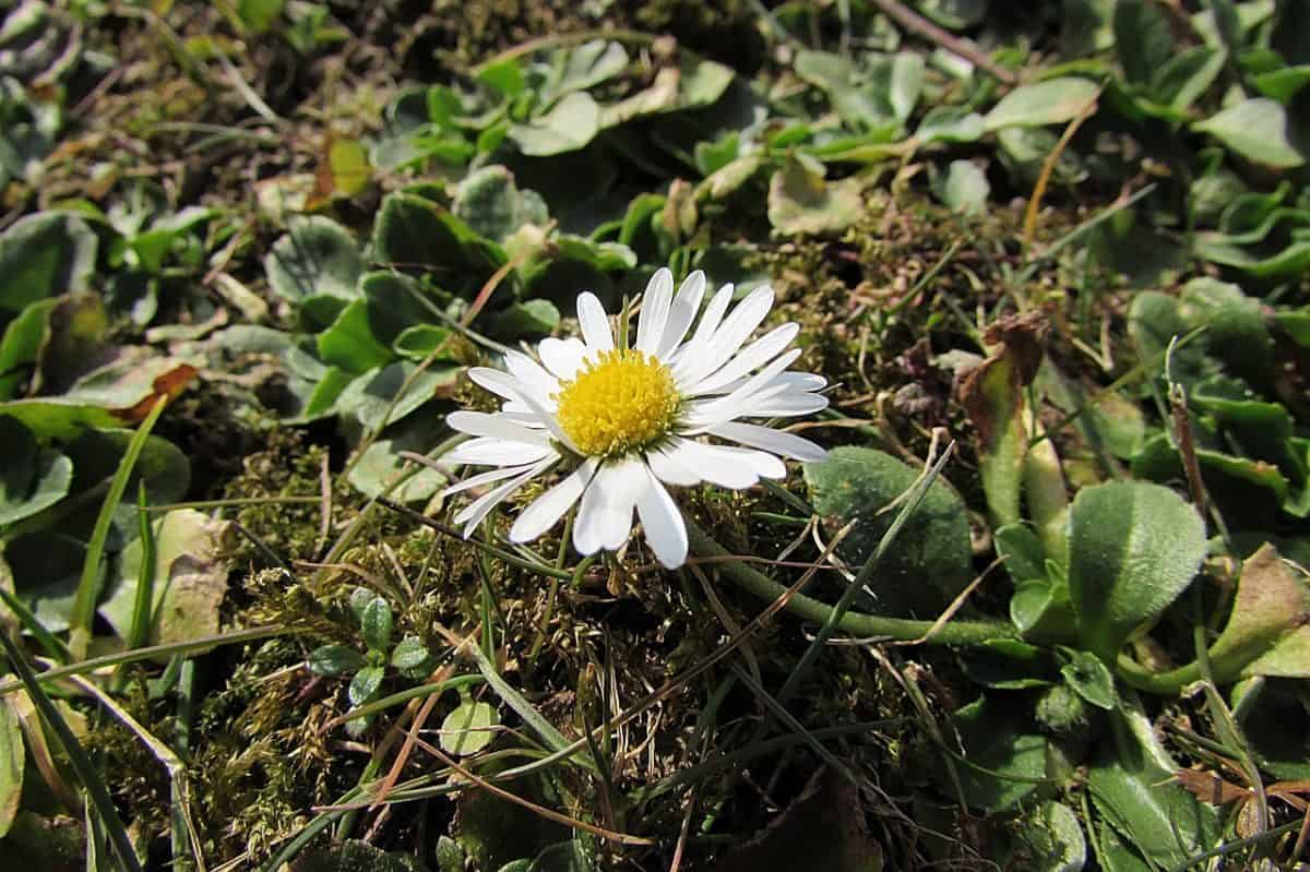 Roman Chamomile - Natural Remedy Anxiety Relief - Essential Oils Anxiety
