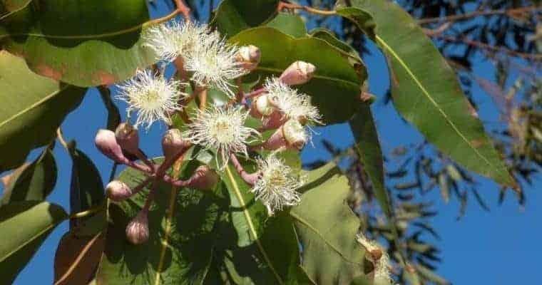 Essential Oils For Arthritis Pain Relief - Eucalyptus Arthritis Pain Relief Essential Oil