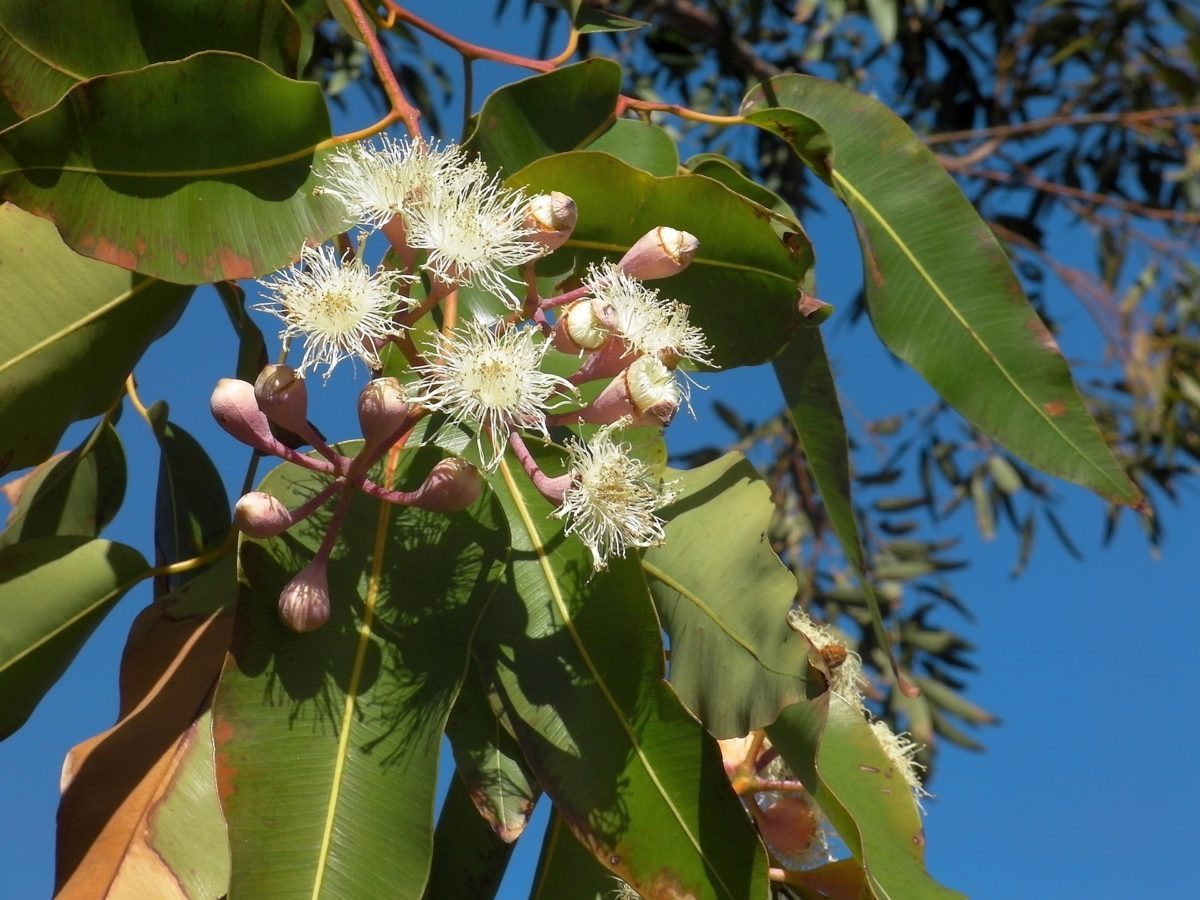 eucalyptus arthritis pain relief essential oil