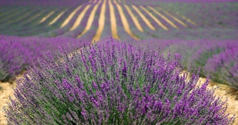best natural mosquito repellent recipe using lavender oil