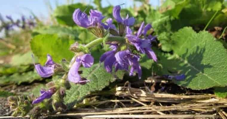 Natural Remedy Anxiety Relief - Essential Oils Anxiety - Clary Sage - Natural Anxiety Relief