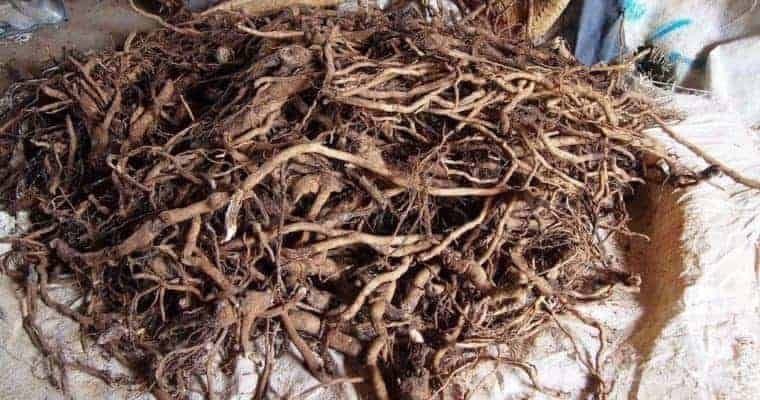kava root - best herbal remedies for anxiety and depression