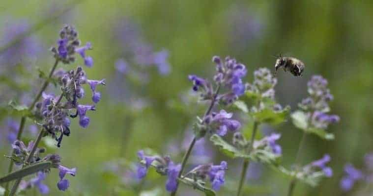 best natural remedies for anxiety and depression - catnip