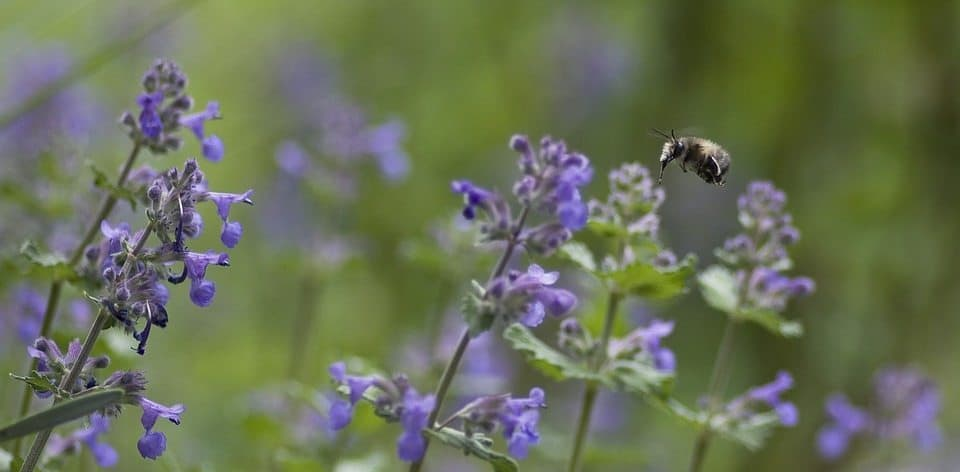 best herbal remedies for anxiety and depression - catnip