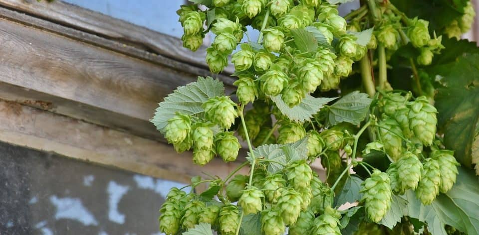 the best herbal remedies for anxiety and depression - hops