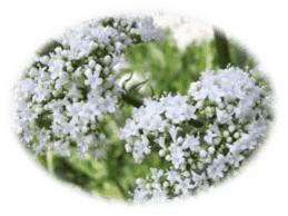 Valerian Medicinal Herbs - Healing With Herbs