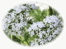 valerian medicinal herbs - healing with herbs