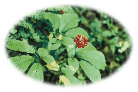 Asian Ginseng - Medicinal Herbs - Healing With Herbs