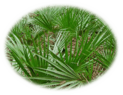 Saw Palmetto - Healing With Herbs