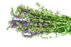 Hyssop - Homemade Herbal Cough Syrup