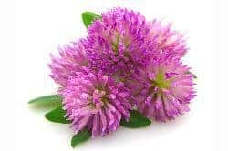 Red Clover Blossom - Homemade Herbal Cough Syrup