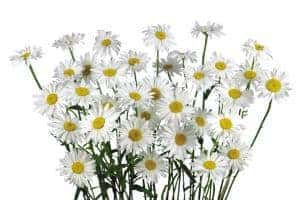Camomile - homemade herbal cough syrup