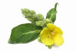 mullein leaf - homemade herbal cough syrup