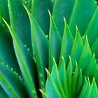 ALOE VERA GEL PURE ORGANIC - THE ONLY After-Microdermabrasion Moisturizer Lotion