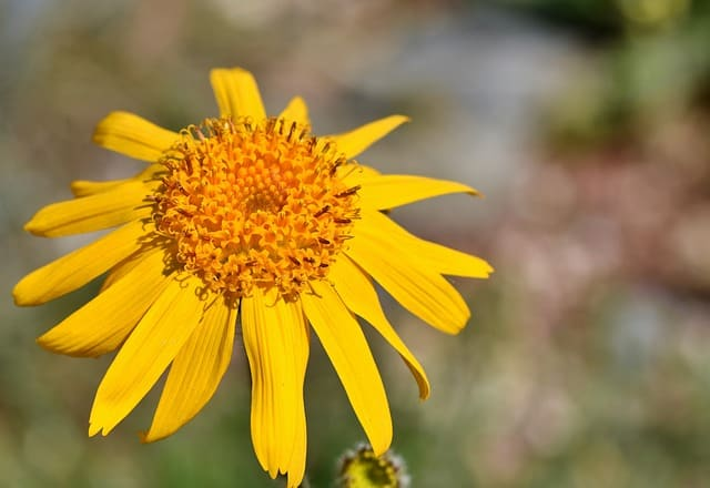 arnica - make herb infused olive oil for health and healing