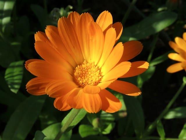 Calendula Flower