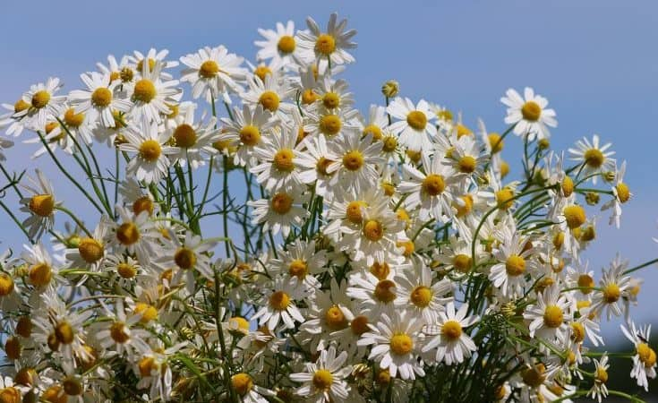 Chamomile Flowers Can Make A Great Herbal Tea And Is One Of Our Favorite Natural Sleep Remedies That Really Work.