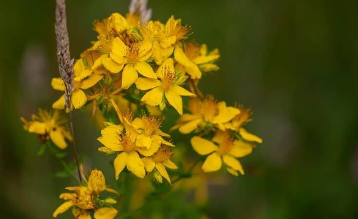 St Johns Wort - Natural Remedies For Sleep