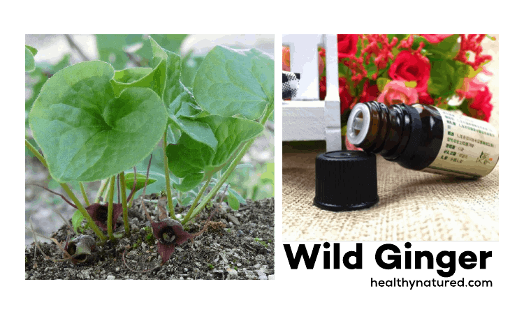 Wild Ginger - Amazing Aromatherapy Benefits For Health And Wellbeing