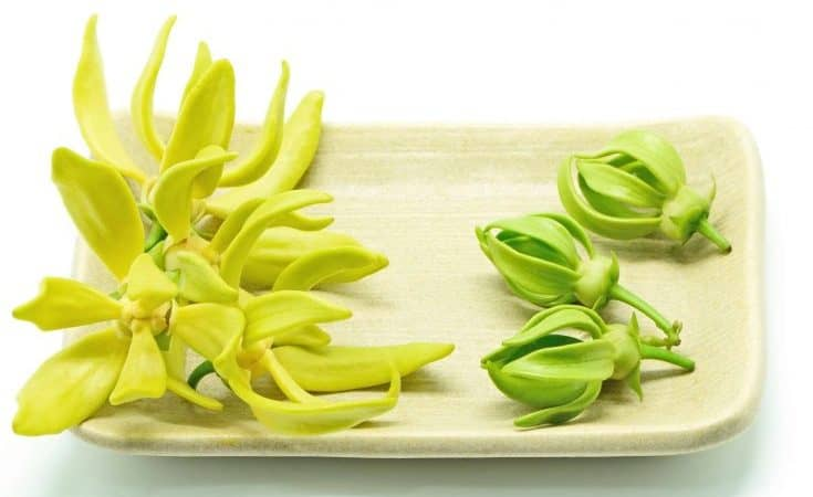 Ylang Ylang Essential Oil - Holistic Massage For Stress