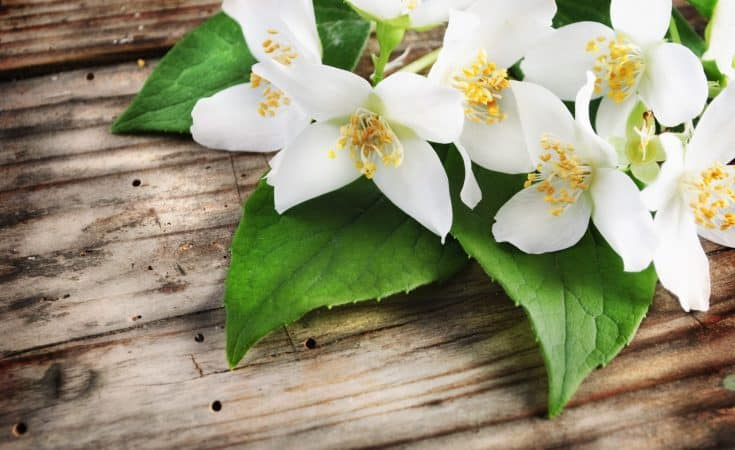Jasmine Essential Oil - Holistic Massage To Reduce Stress