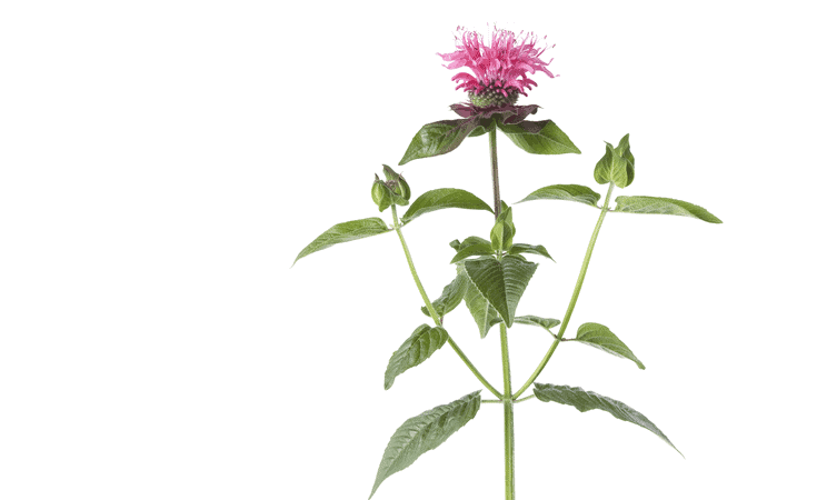 Horse Mint Bee Balm - Essential Oil Mosquito Repellent